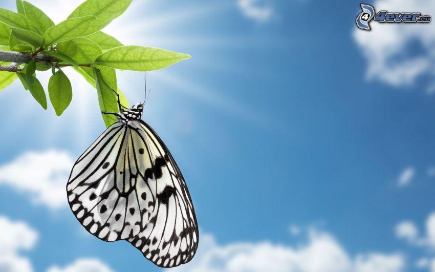 farfalla, ramo