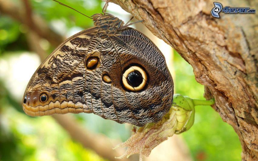 farfalla, tronco