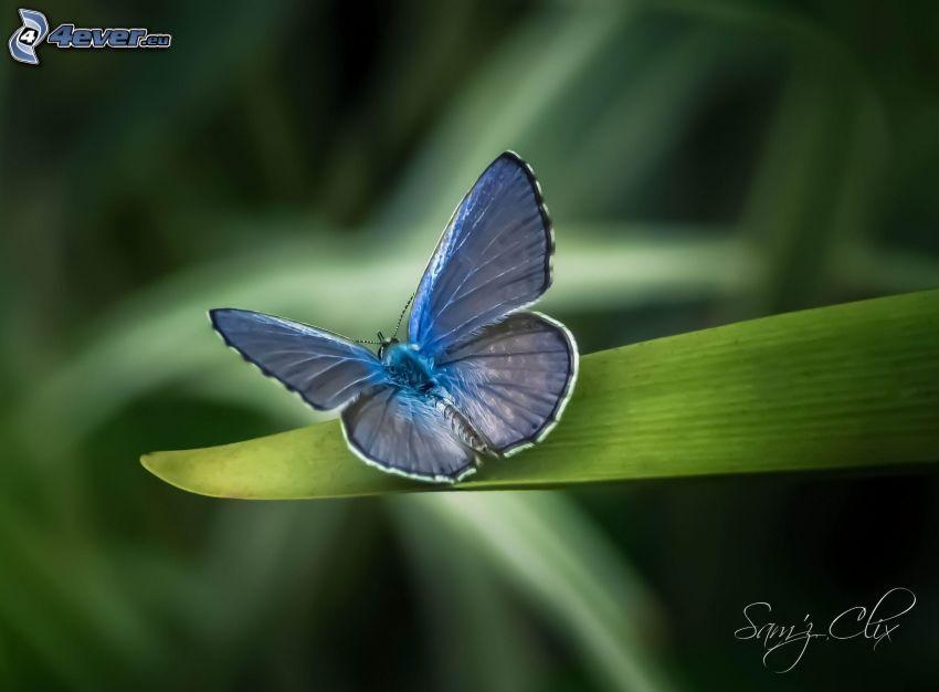 farfalla blu, foglia verde