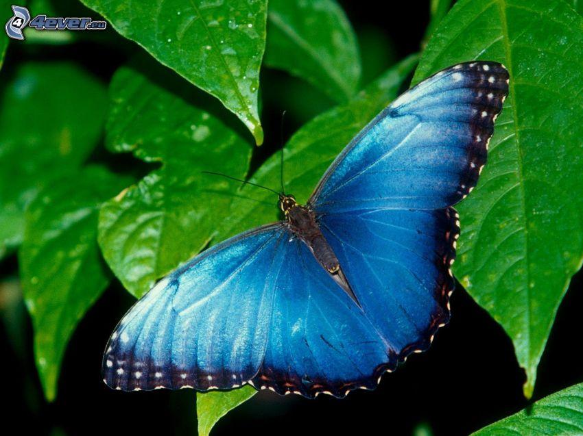 farfalla blu, foglie verdi