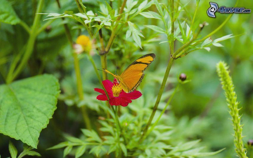 farfalla sul fiore, fiore rosa