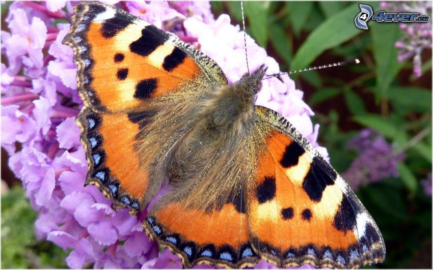 farfalla sul fiore, fiore viola, macro