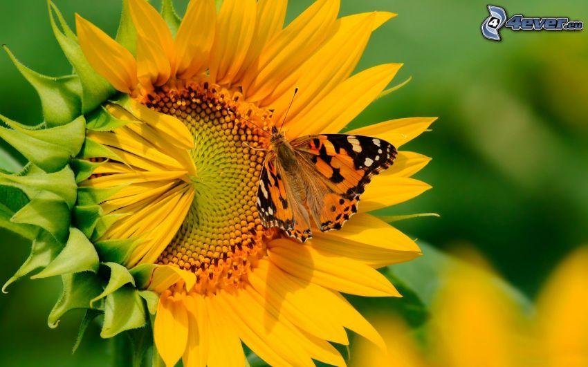 farfalla sul fiore, girasole