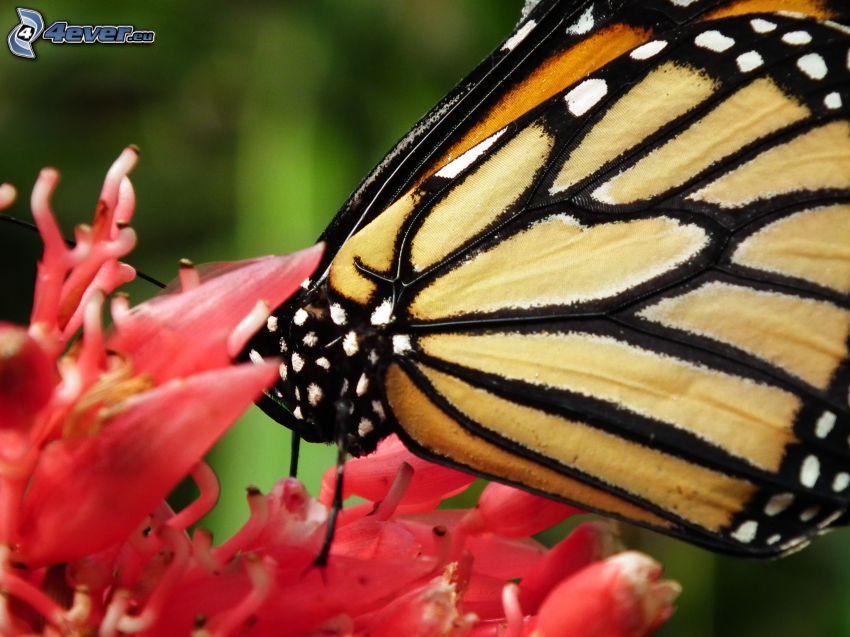 farfalla sul fiore, macro