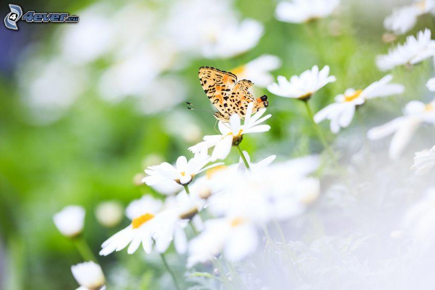 farfalla sul fiore, pratoline