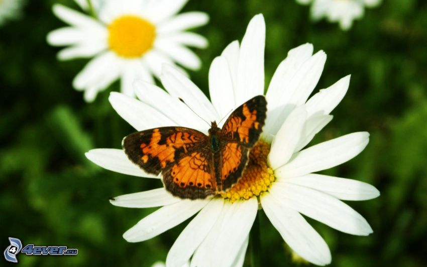 farfalla sulla fronte, margherite