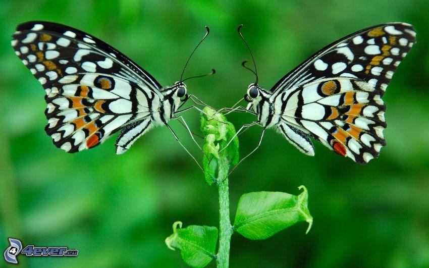 farfalle, pianta