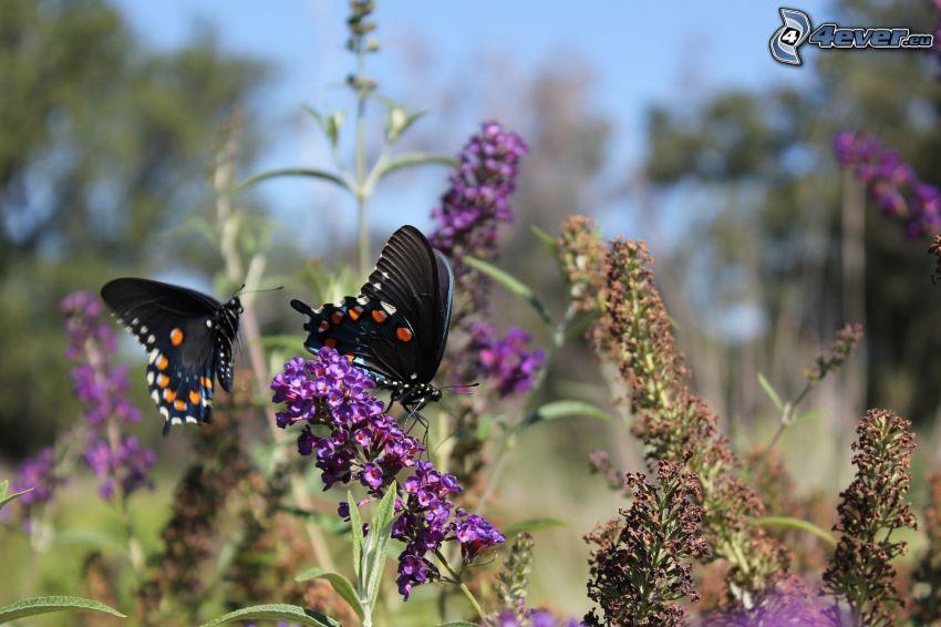 farfalle sui fiori, nera farfalla, fiore viola