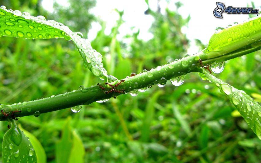 foglie coperte di rugiada, formiche, pianta, gocce d'acqua