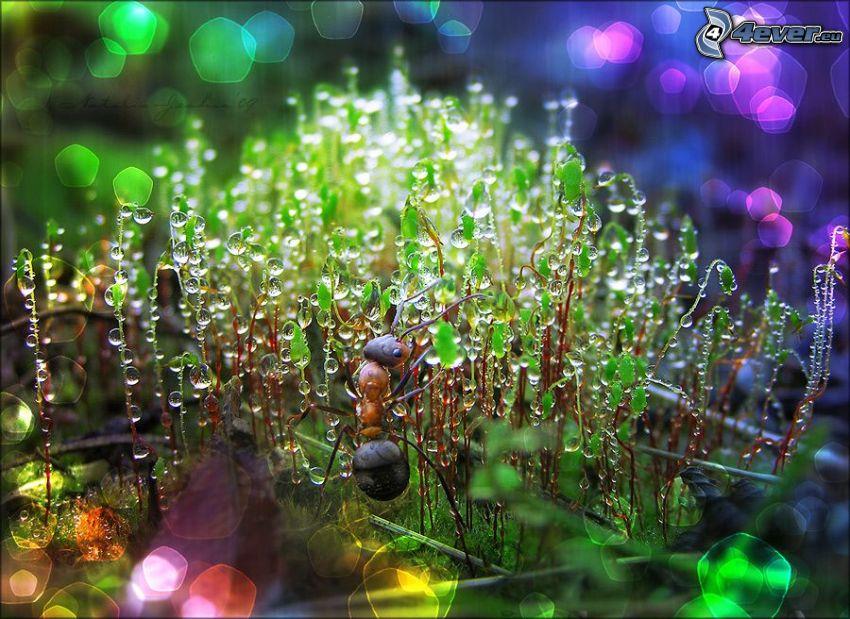 formica, pianta, gocce d'acqua, macro
