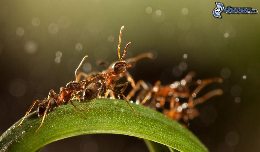 formiche, foglia verde, macro