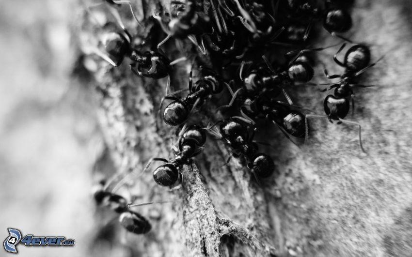 formiche, foto in bianco e nero