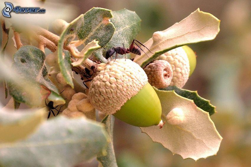 formiche, ghiande