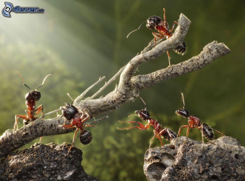 formiche, legno