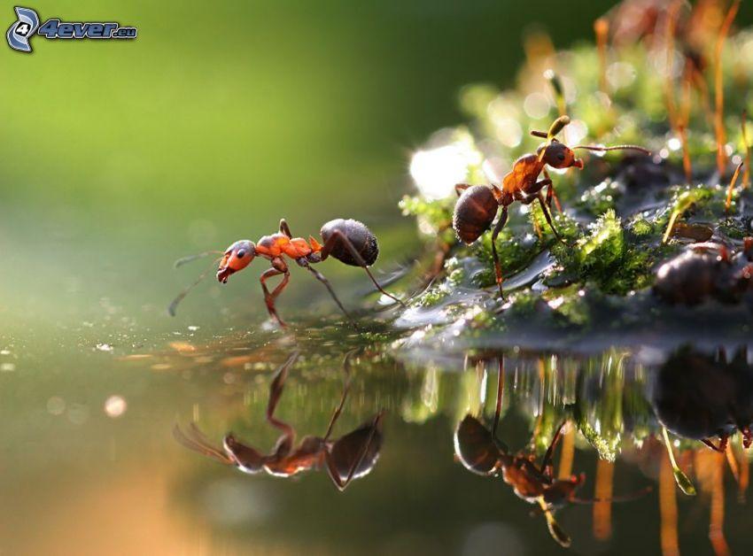 formiche, macro, acqua, riflessione