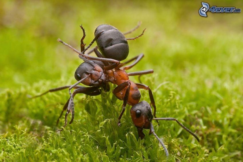 formiche, muschio, macro