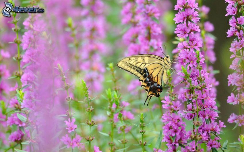 Il Macaone, fiori viola