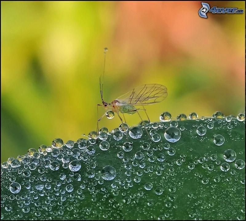 insetto, gocce d'acqua, foglia