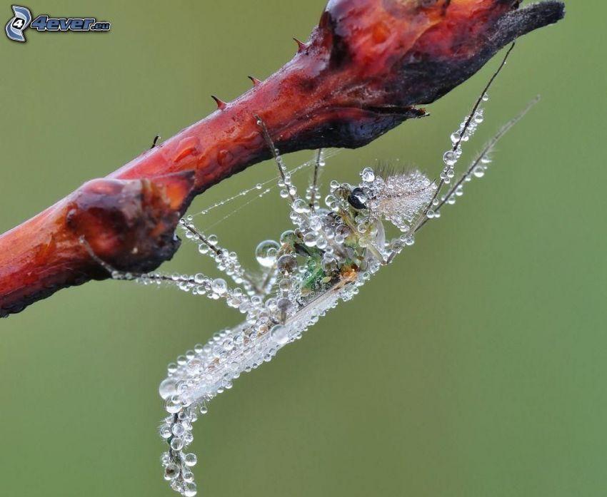 insetto, gocce d'acqua, pianta