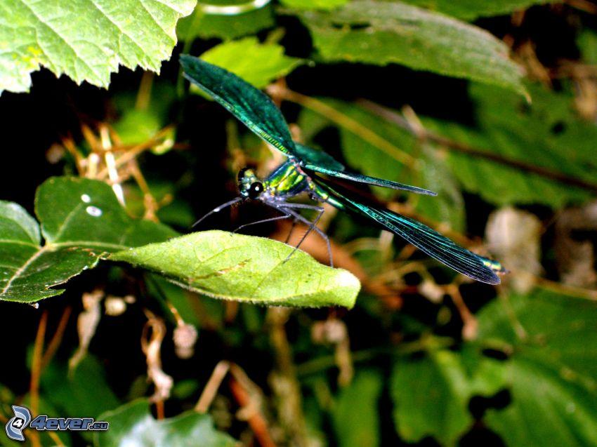 libellula, foglie
