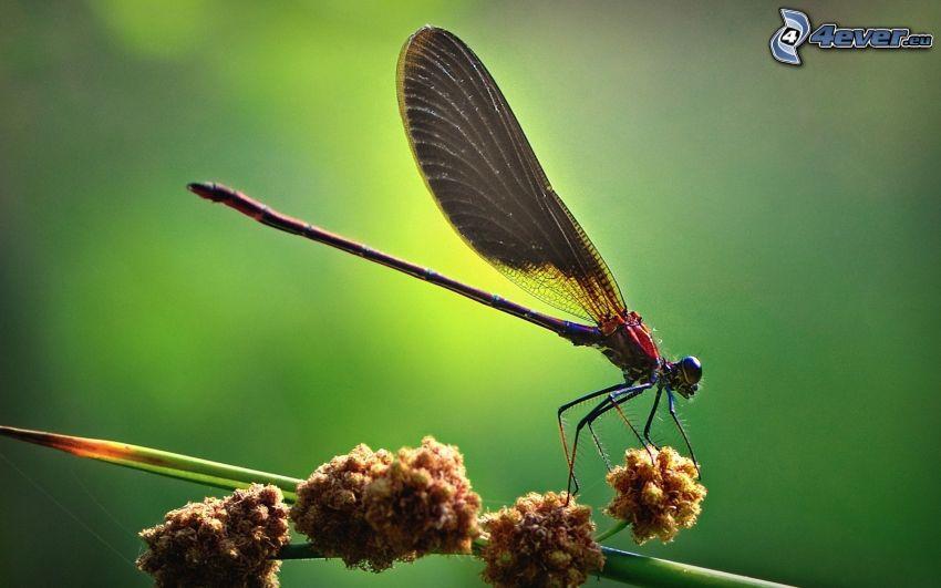 libellula, pianta
