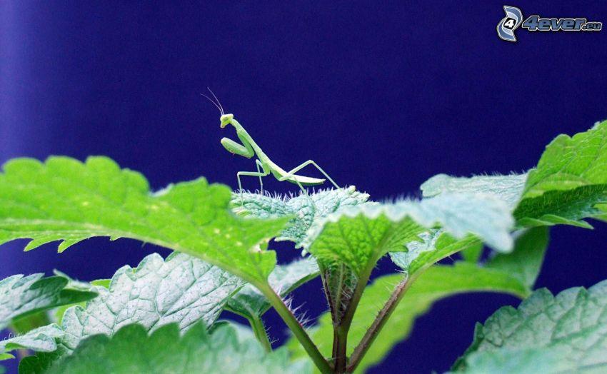 mantis religiosa, erba