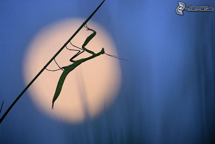 mantis religiosa, festuca