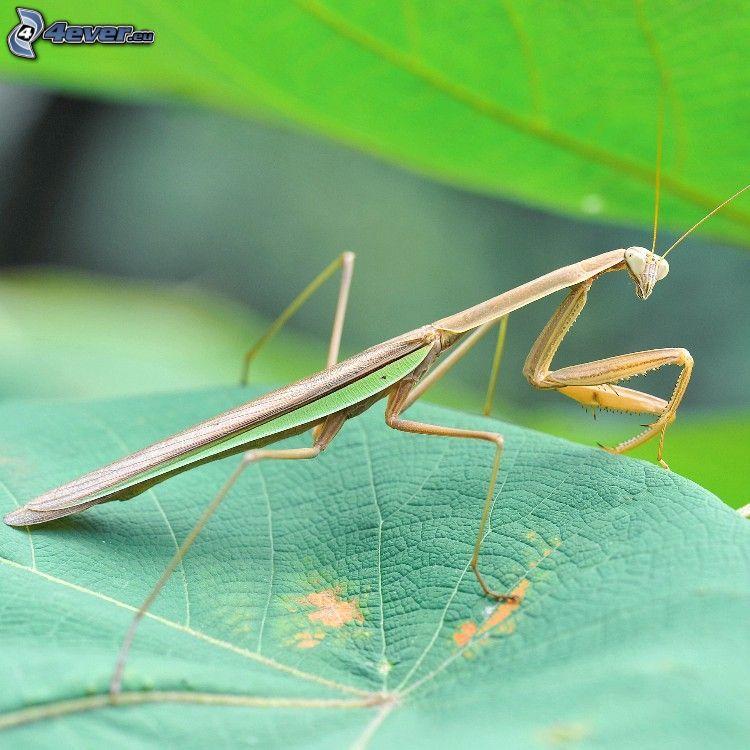 mantis religiosa, foglia verde