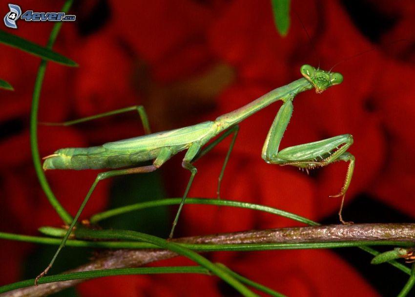 mantis religiosa, ramoscello
