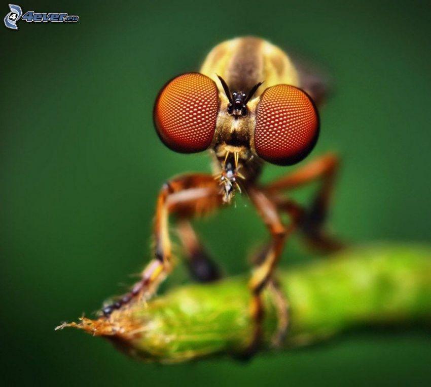 mosca, occhi, macro