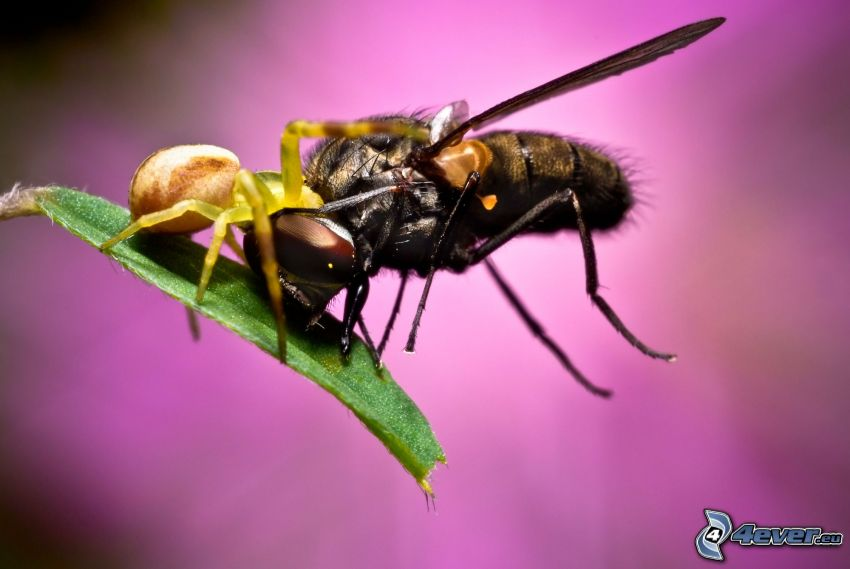 mosca, ragno, foglia