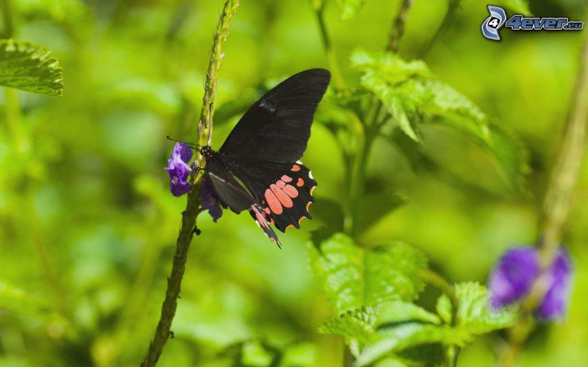 nera farfalla, fiore viola