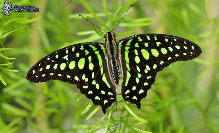 nera farfalla, macro