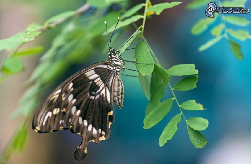 nera farfalla, pianta