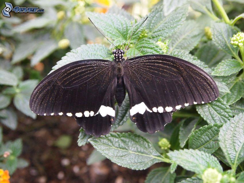 nera farfalla, piante