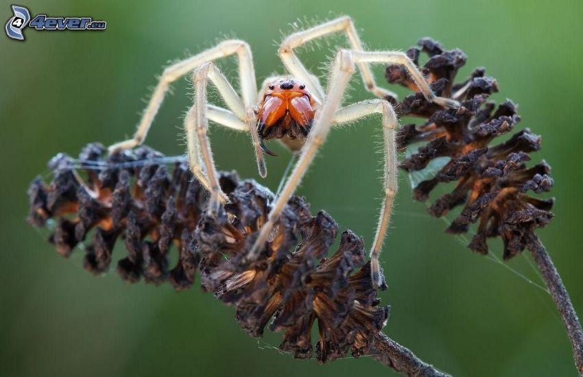 ragno, coni di albero, macro