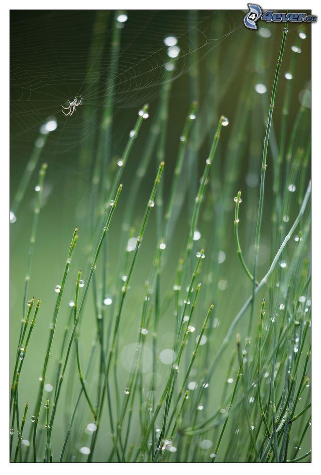 ragno, ragnatela, piante, gocce d'acqua