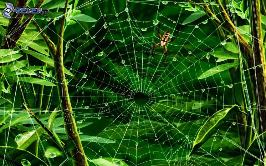 ragno, rugiada su una tela di ragno, foglie verdi