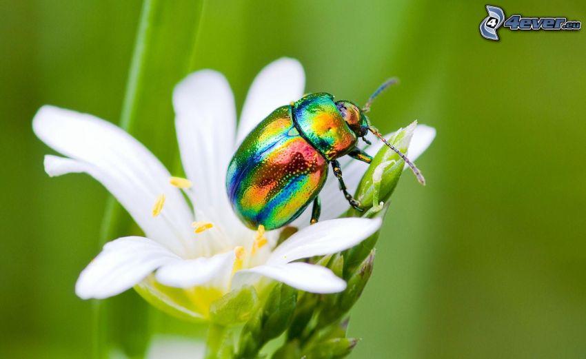 scarafaggio, fiore bianco