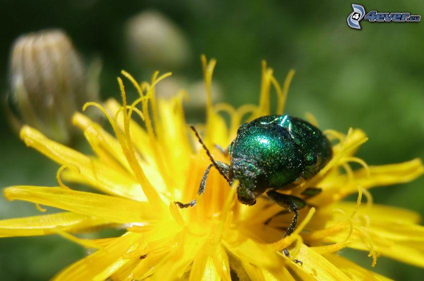 scarafaggio, fiore giallo