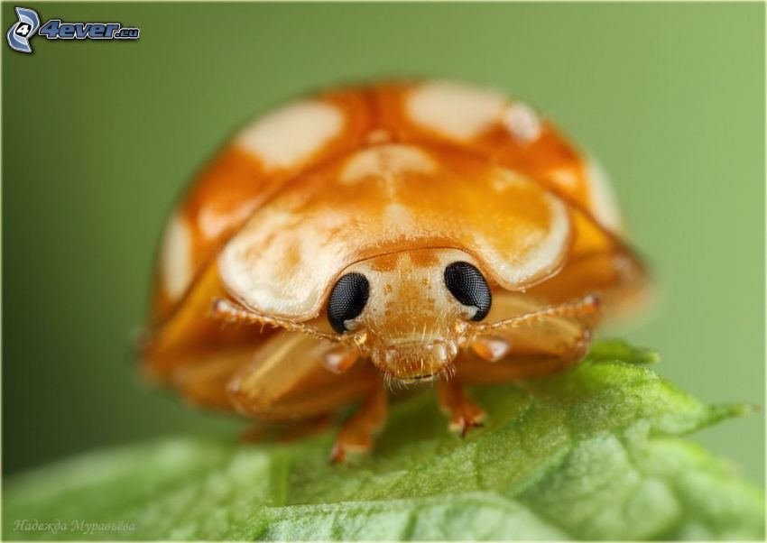 scarafaggio, macro