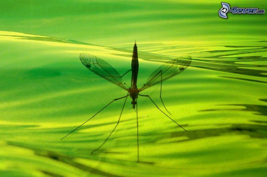 zanzara, acqua verde