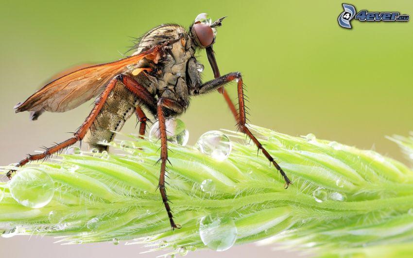zanzara, foglia, gocce d'acqua