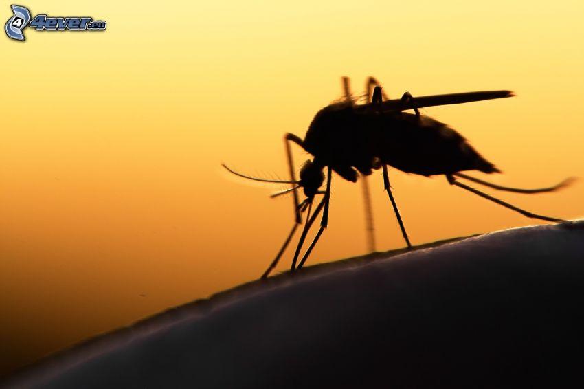 zanzara, silhouette