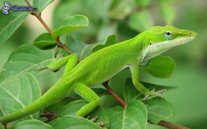 lucertola, foglie verdi