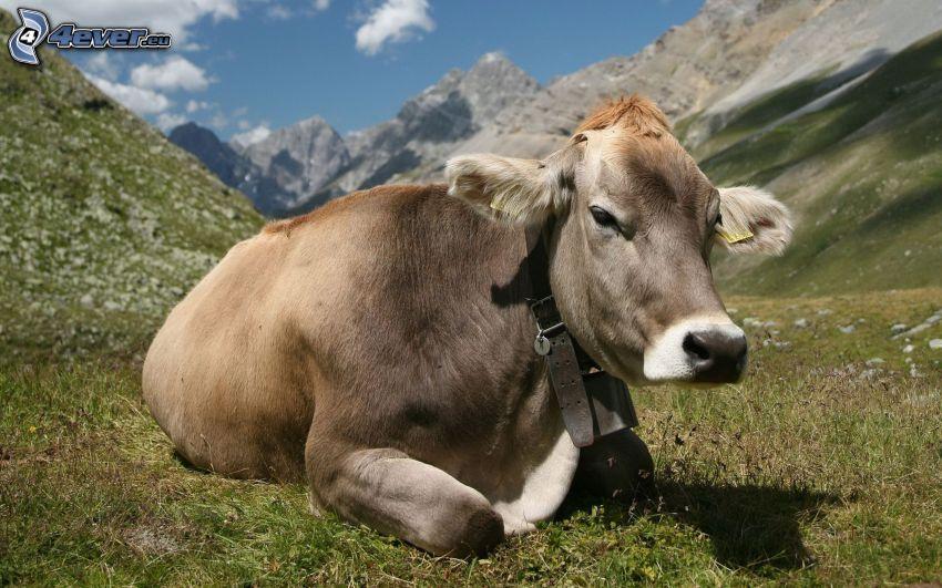 mucca, montagne