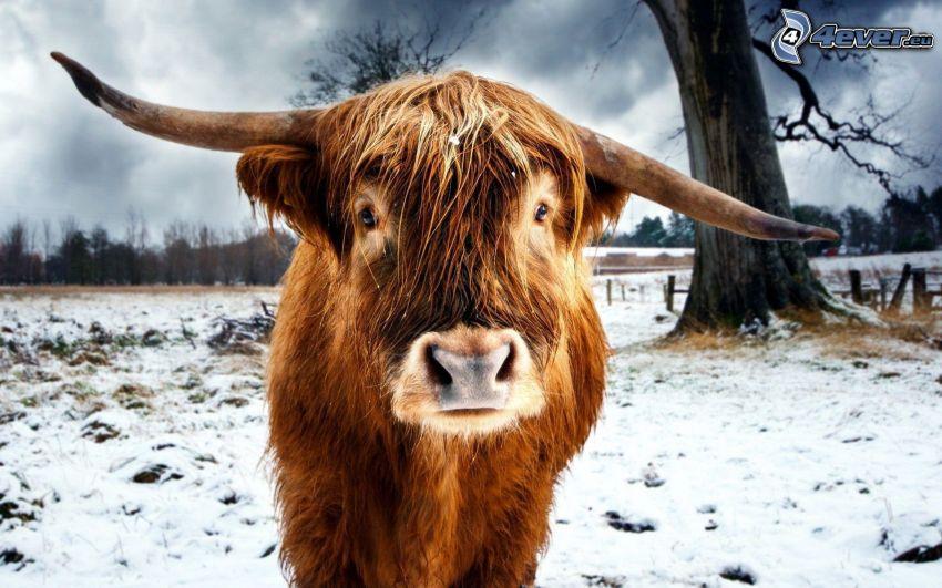 mucca, neve
