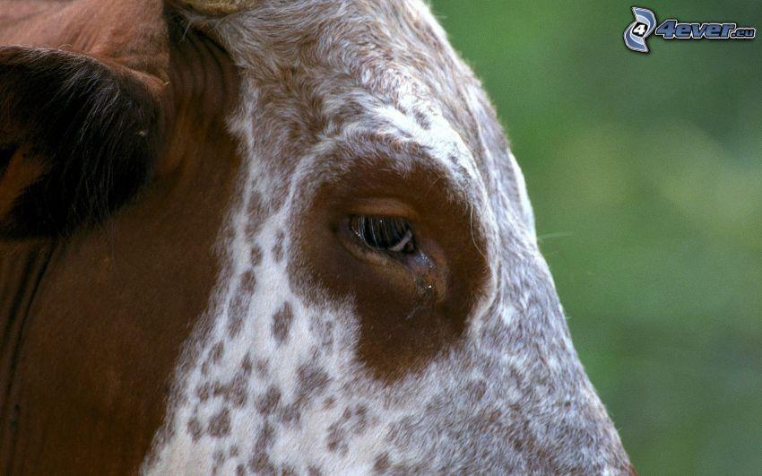 mucca, occhio