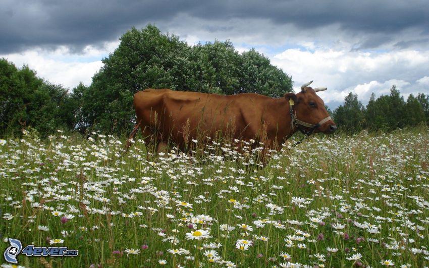 mucca, prato, margherite