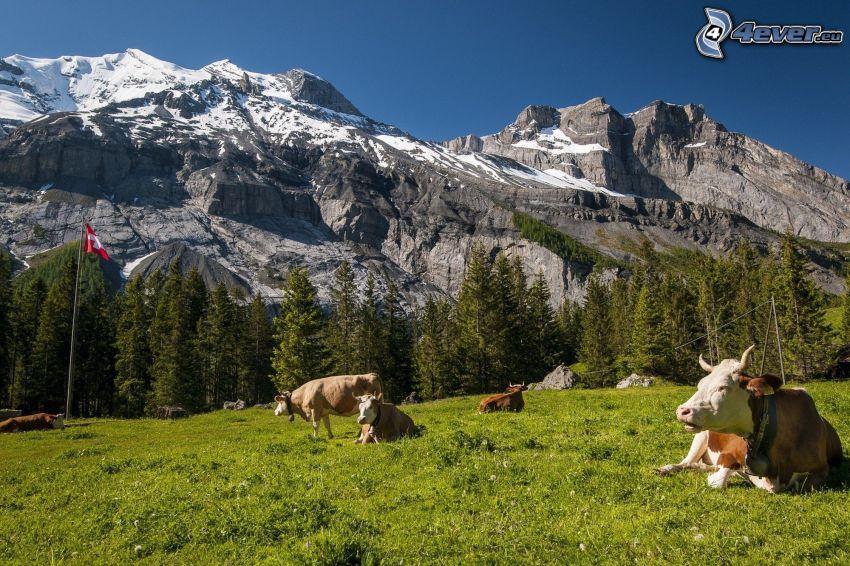 Mucche, erba verde, montagne rocciose, neve